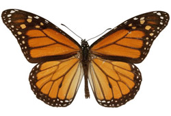 monarch_original