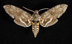 moth_original