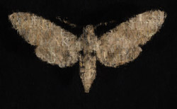 moth_7